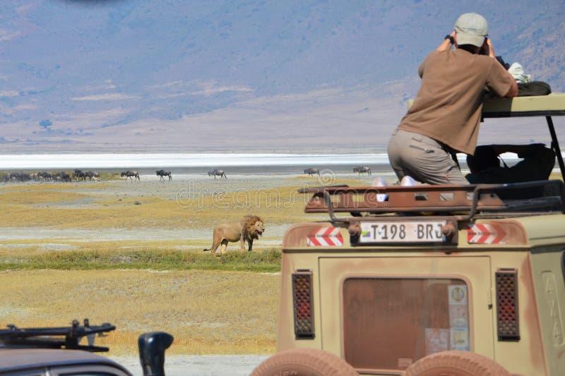 Fotograaf op safari foto's van een mannelijke leeuw royalty-vrije stock fotografie