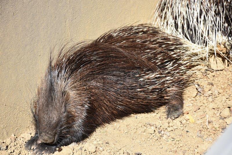 Fotografía animal del primer Puerco espín que duerme y calentado en el sol imagen de archivo