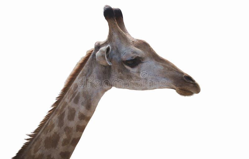 Fotografía de la cara de Giraffe aislada en fondo blanco fotografía de archivo