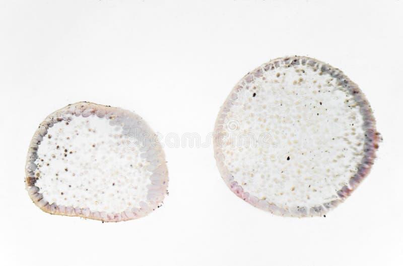 Fotografía de la microscopia Mitosis del animal fotos de archivo libres de regalías