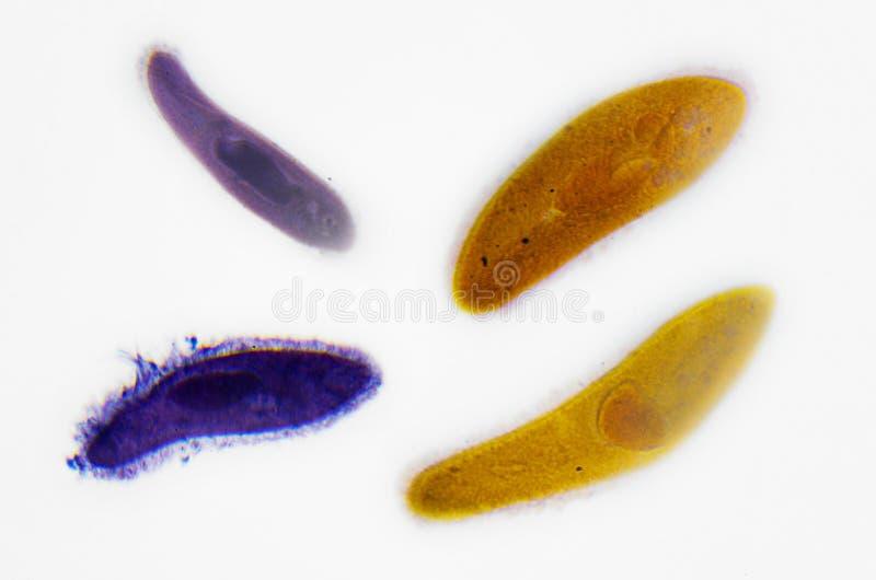 Fotografía de la microscopia paramecium imagen de archivo libre de regalías