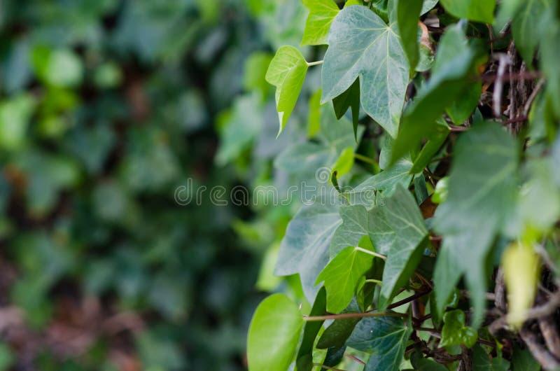 Fotografía de las vides de un fondo con las hojas verdes fotografía de archivo libre de regalías