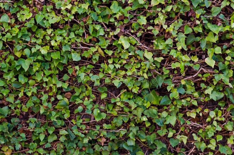Fotografía de las vides de un fondo con las hojas verdes imagen de archivo