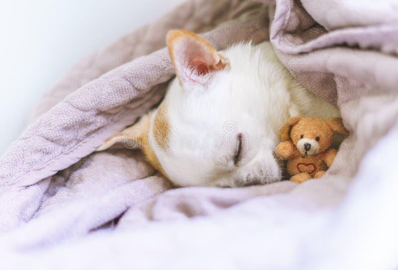 Fotografía de una chihuahua el dormir en cesta con su peluche foto de archivo