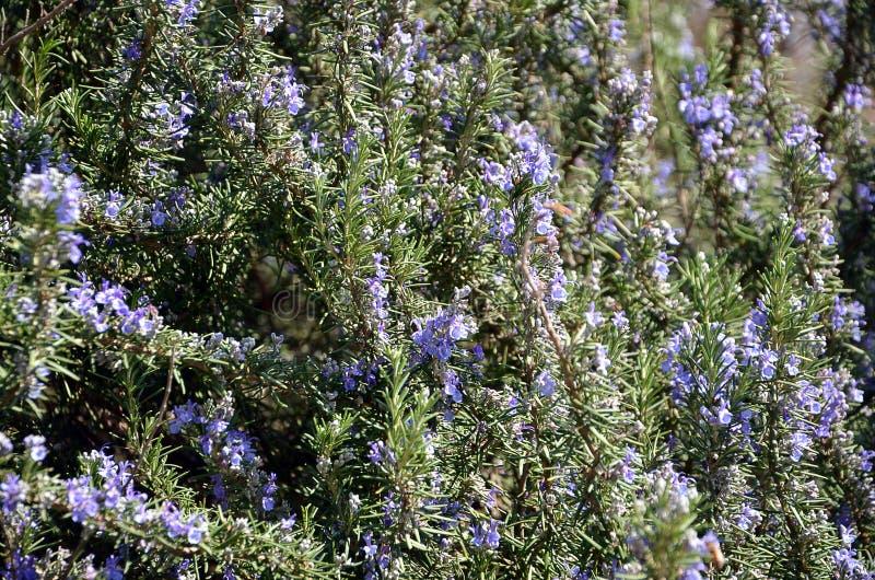 Fotografía del detalle de la hierba de la planta floreciente del romero imágenes de archivo libres de regalías