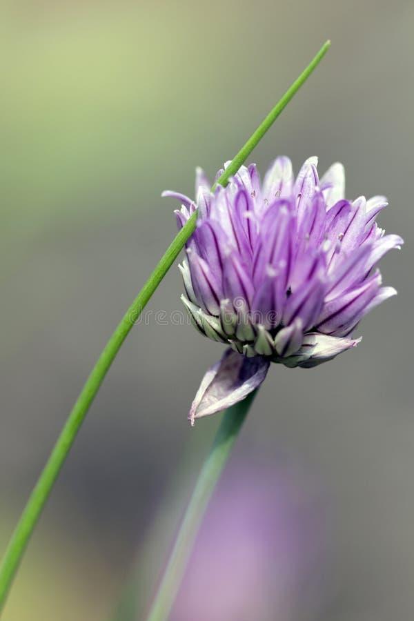 Fotografía en color de una flor de la cebolleta fotos de archivo