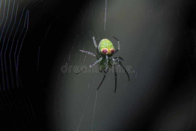 Fotografía macra de depredador solo, una araña rosada amarilla verde hermosa y colorida en la web real y un fondo oscuro de la na imagen de archivo libre de regalías