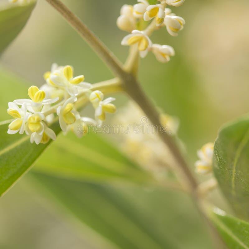 Fotografía macra de Olive Tree Flowers en primavera fotografía de archivo libre de regalías