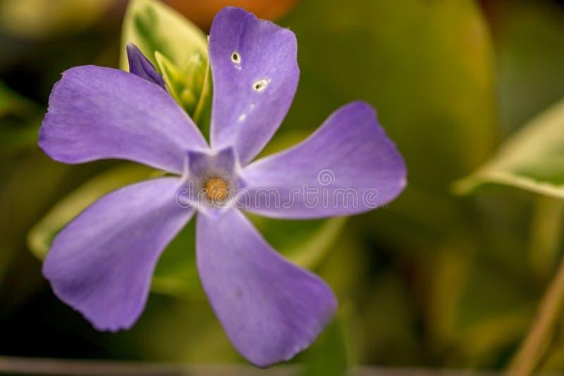 Fotografía macra de una flor azul del bígaro imagen de archivo libre de regalías