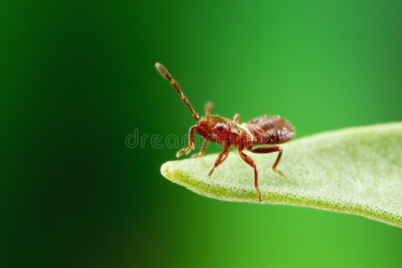 Fotografía macra de una ninfa minúscula del insecto fotos de archivo
