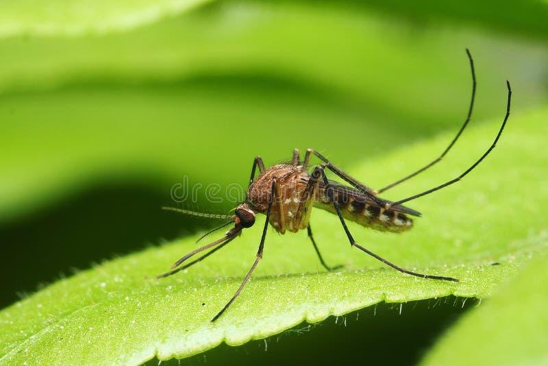 Fotografía macra del mosquito femenino en el fondo verde de la hoja fotografía de archivo libre de regalías