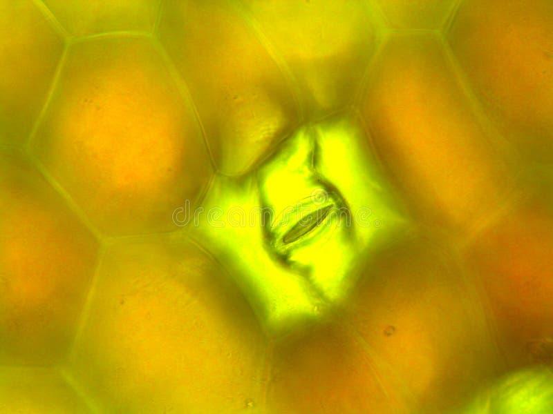 Fotografía microscópica del lado inferior de la hoja del pendula de Zebrina que muestra el estoma imagen de archivo