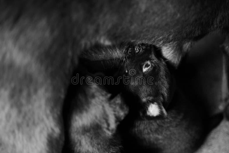 Fotografías blancos y negros de un perrito que está chupando bastante leche materna de madre imagenes de archivo