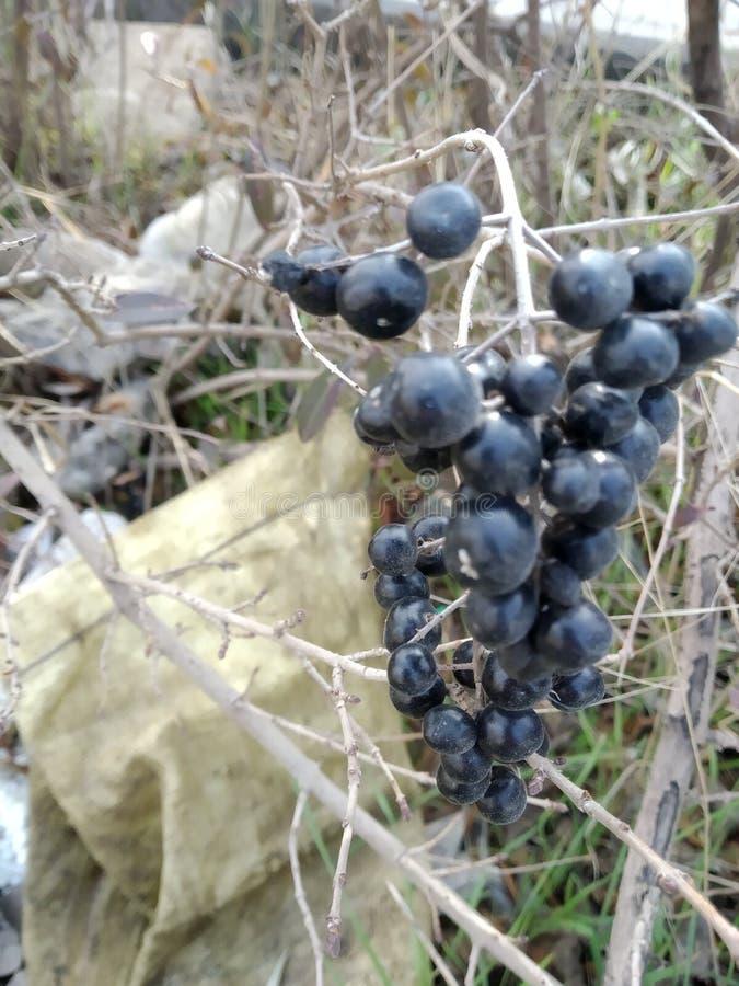 Fotografías de diversos lugares con los troncos frondosos, con las frutas negras imagenes de archivo