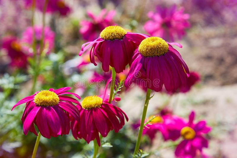 Fotograf?a macra Flor rosada de la margarita fotos de archivo libres de regalías