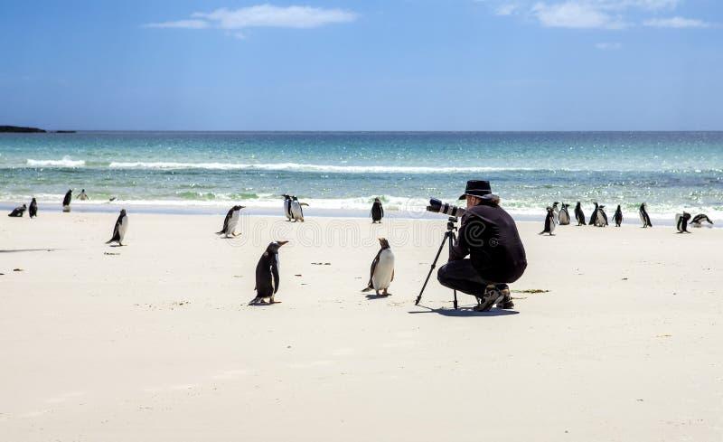 Fotograf med pingvin på Falkland Islands-2 arkivfoto