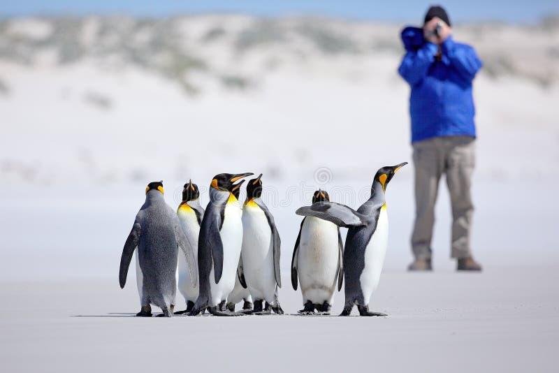 Fotograf mit Gruppe des Pinguins Königpinguine, Aptenodytes patagonicus, gehend vom weißen Schnee zum Meer in Falkland Islands Pe stockfotos