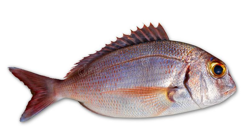Fotografa rybiego chwyta świeży czerwony kolor zdjęcia royalty free