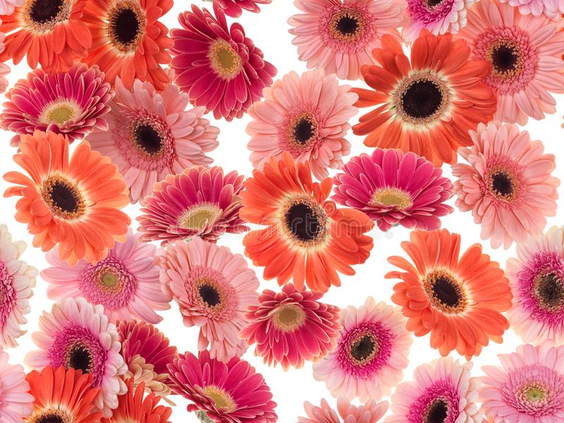 Fotograferade rosa färger/purpurfärgade/orange Gerber tusenskönor på en vit bakgrund Sömlös bild som ska upprepas ändlöst royaltyfri foto