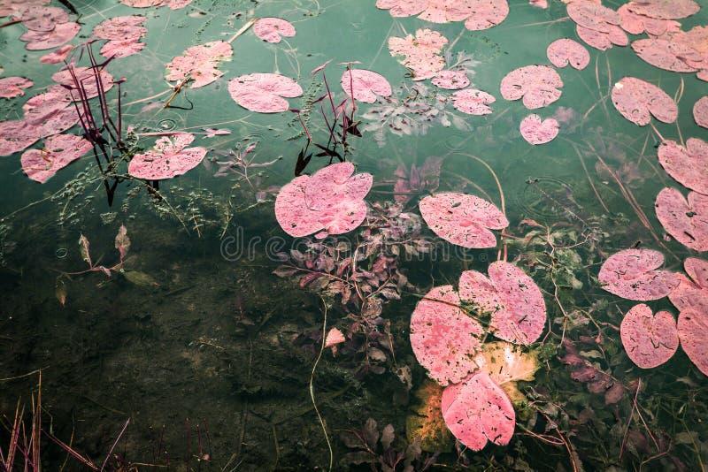 Fotografi för infrarött landskap, falskt färgade, lotus i en damm royaltyfri fotografi