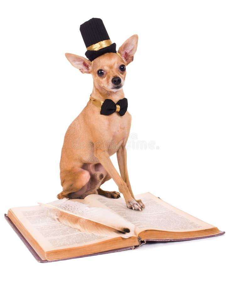 Fotografia śmieszny zabawkarski terier na białym tle obrazy stock