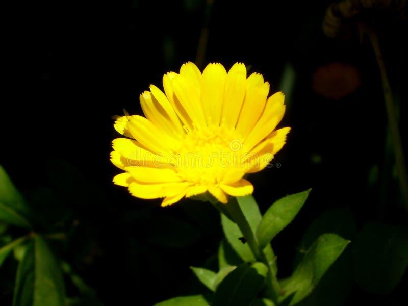Fotografia żółty kwiat na zamazanym zieleni i czerni backgrou zdjęcie royalty free