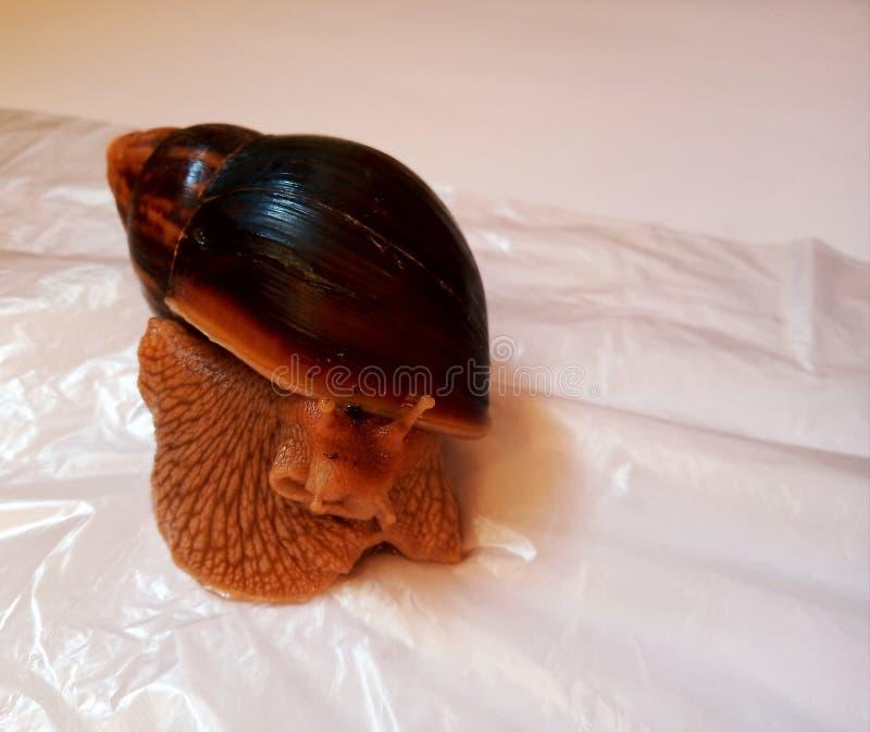 Fotografia afrykański ślimaczek na białym tle fotografia royalty free