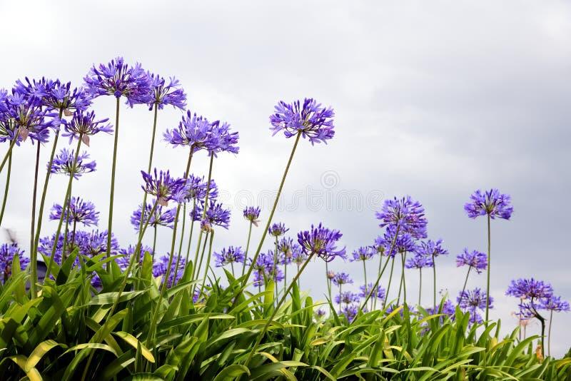 Fotografia agapanthus kwiat który zapoczątkowywa od południowego Africa agapantu błękitnych kwiatów obrazy royalty free