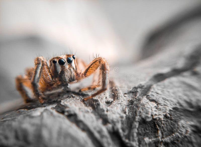 Fotografia aproximada da aranha marrom saltando imagem de stock royalty free