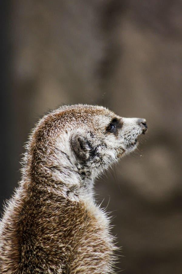 Fotografia aproximada de Brown Meerkat fotos de stock