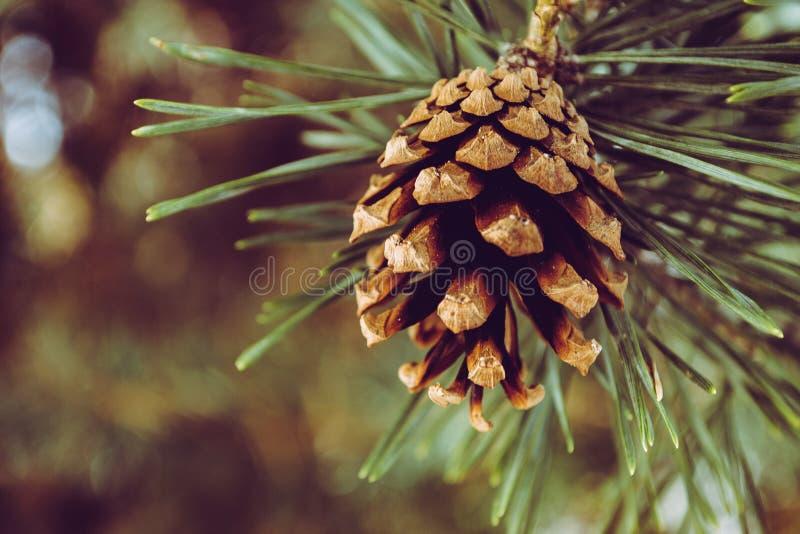 Fotografia aproximada de pinheiro castanho Cone imagem de stock