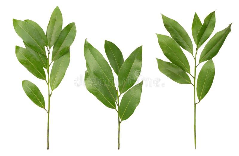 Fotografia aromatyczne podpalanego liścia gałązki odizolowywać na białym tle Set bobek zatoki żniwo dla eco cookery biznesu Przec fotografia royalty free