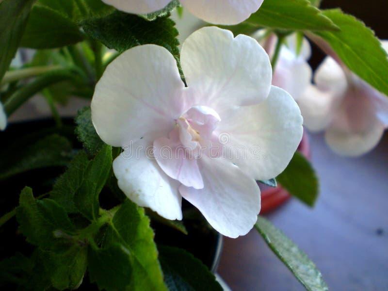 Fotografia biały kwiat na zamazanym tle obraz royalty free