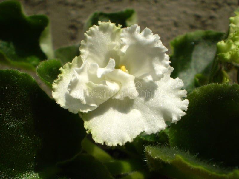 Fotografia biały Saintpaulia kwiat z zielonymi liśćmi obrazy stock