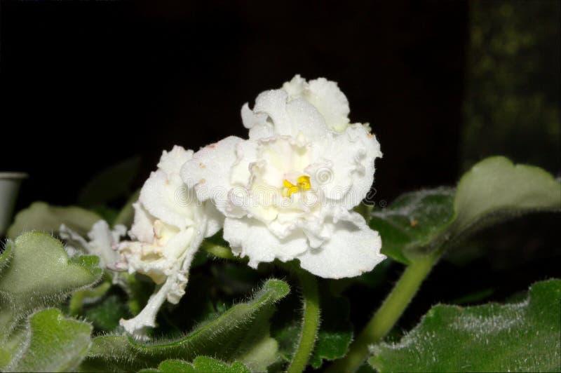 Fotografia biały Saintpaulia kwiat z zielonymi liśćmi fotografia stock