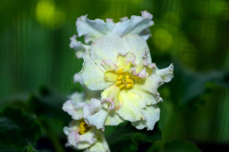 Fotografia biały Saintpaulia kwiat z zielonymi liśćmi zdjęcie stock