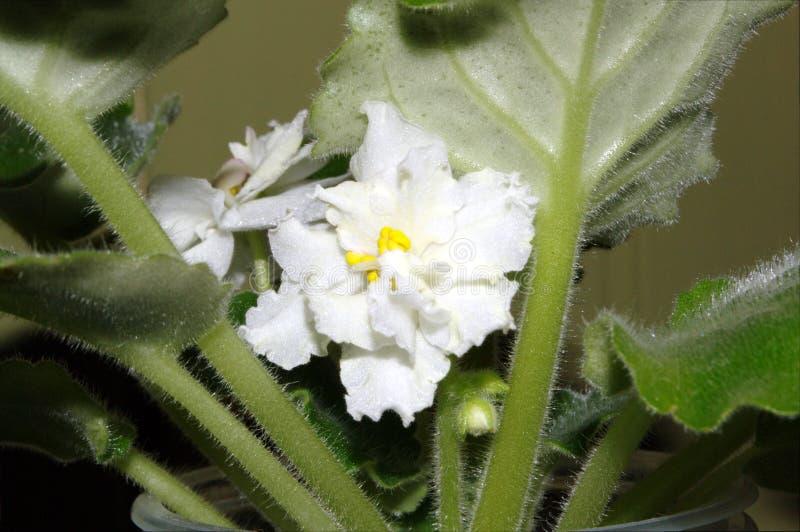 Fotografia biały Saintpaulia kwiat z zielonymi liśćmi zdjęcia stock