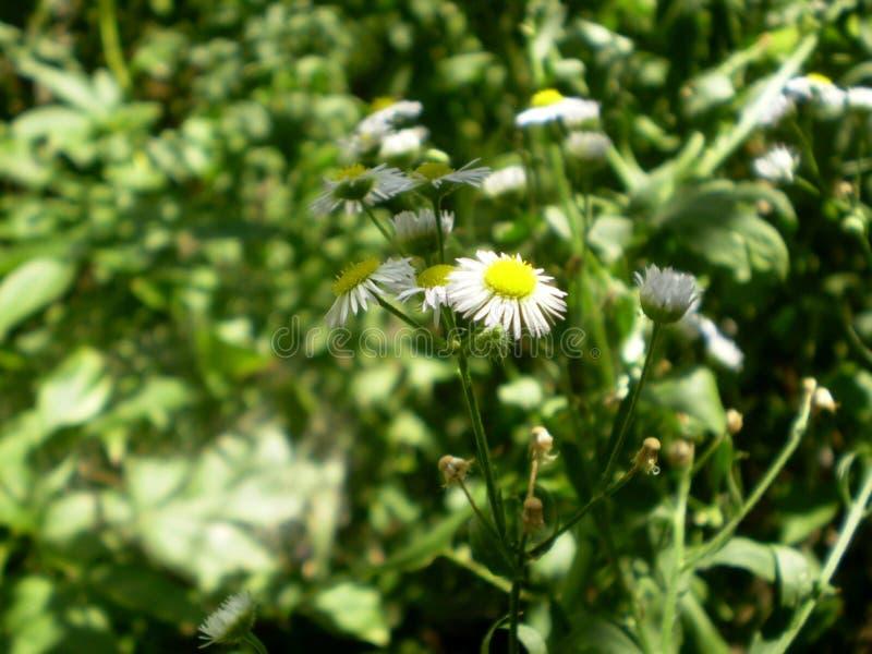 Fotografia biali chamomile kwiaty na zamazanym zielonym backgrou fotografia stock