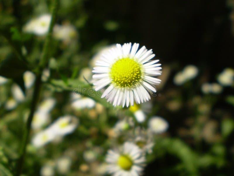 Fotografia biali chamomile kwiaty na zamazanym zielonym backgrou zdjęcie royalty free