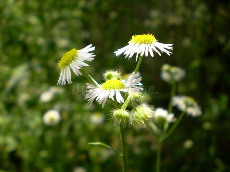 Fotografia biali chamomile kwiaty na zamazanym zielonym backgrou obraz royalty free