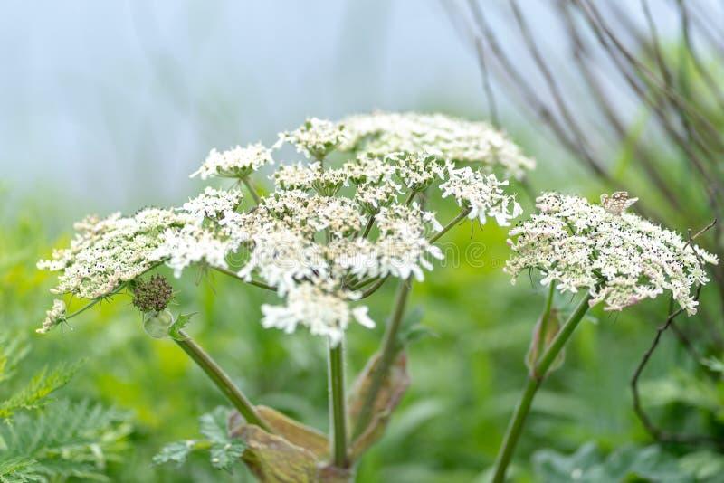Fotografia biali kwiaty przeciw trawy tłu obrazy stock
