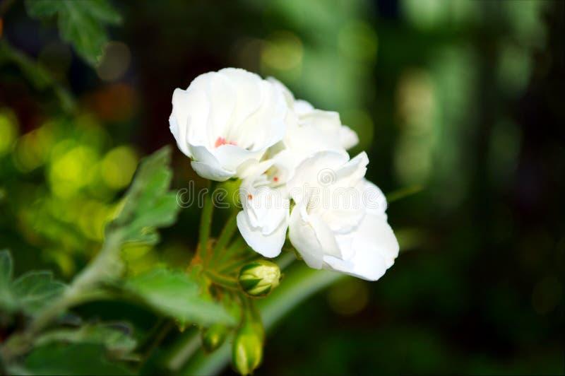 Fotografia biali kwiaty z zielonymi liśćmi zdjęcia royalty free