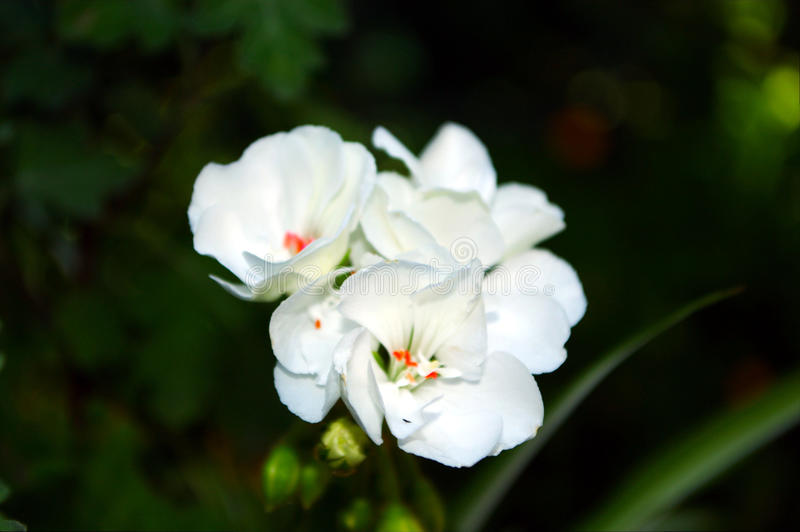 Fotografia biali kwiaty z zielonymi liśćmi obraz stock