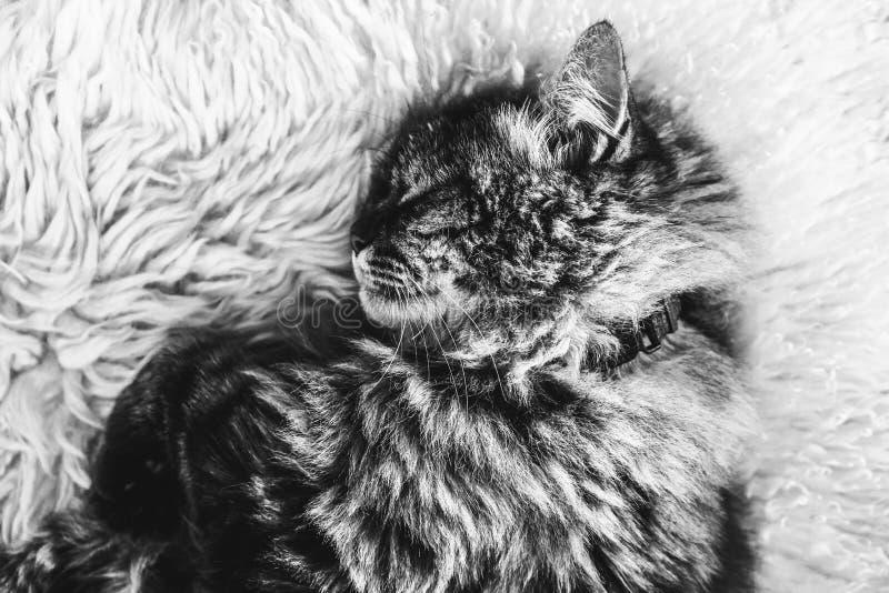 Fotografia in bianco e nero del gatto di soriano di sonno su tappeto lanuginoso bianco Collare del gatto nero intorno al collo ga fotografia stock libera da diritti