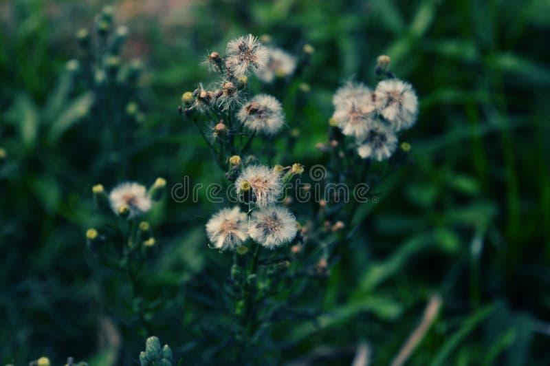Fotografia branca do macro da flor do dente-de-leão foto de stock