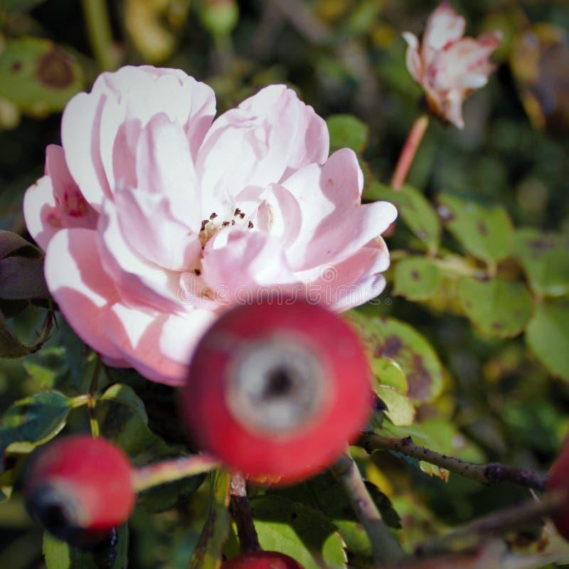 fotografia che ritrae una piccola rosa fotografie stock
