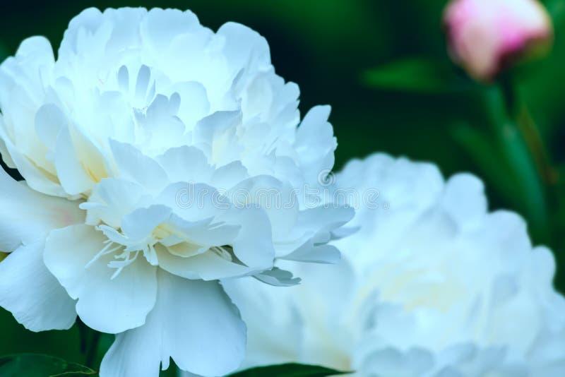Fotografia da arte de pe?nias de floresc?ncia Flor branca na primavera imagens de stock