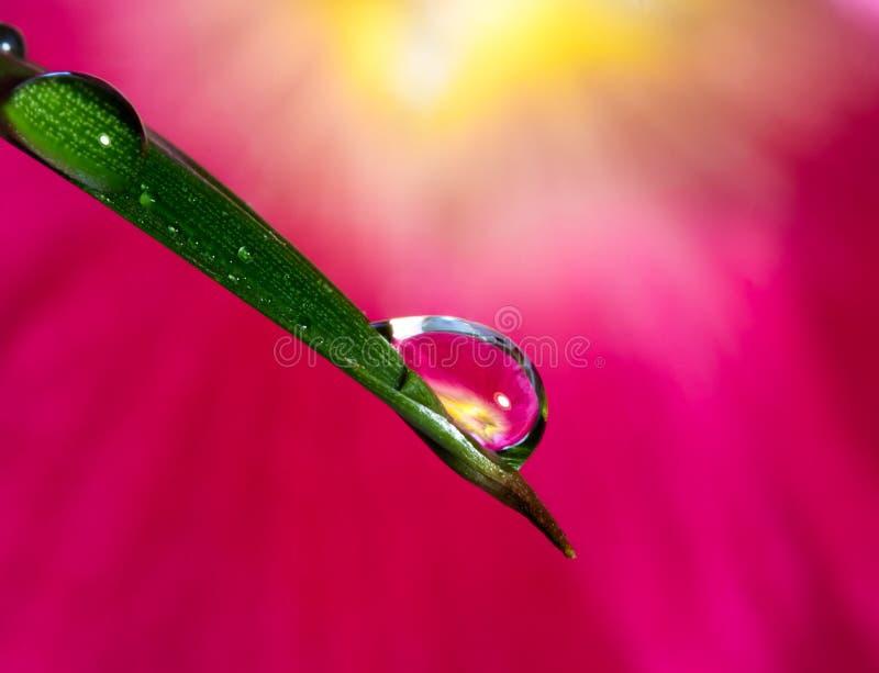 Fotografia da refração da gota da água com gotas de água na superfície da folha da palmeira e do rosea cor-de-rosa do Alcea da ma foto de stock