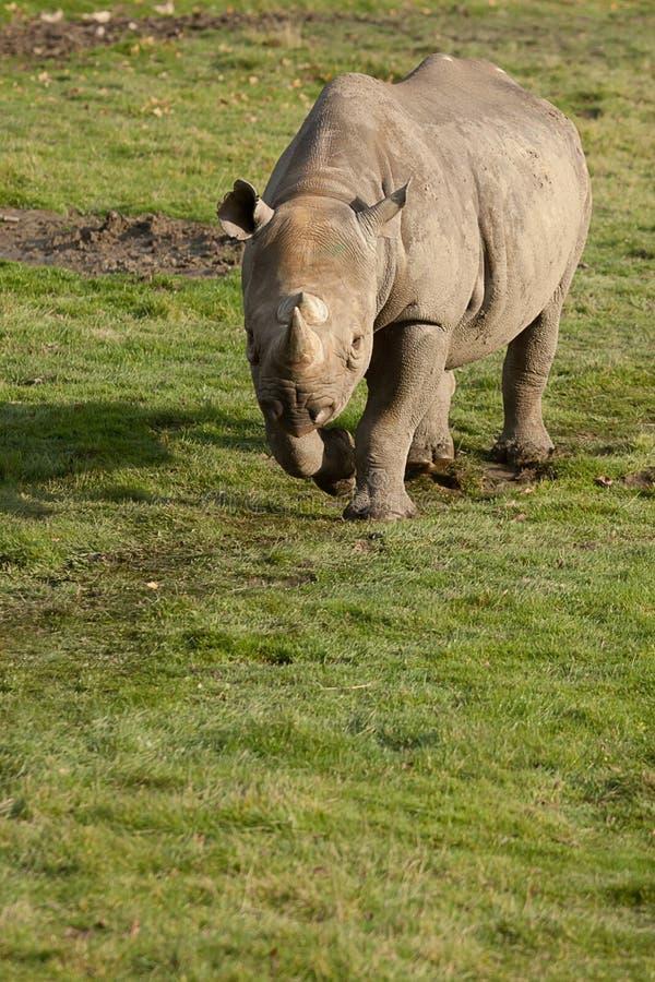 Fotografia de um rinoceronte preto adulto que anda na luz do sol imagens de stock
