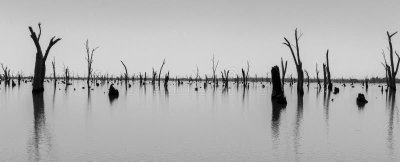 Fotografia dei tronchi di albero morti che attaccano dall'acqua, Australia fotografie stock